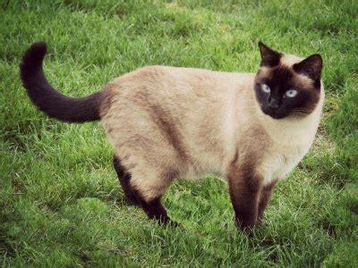 10 Cutest Cat Breeds   Flokka