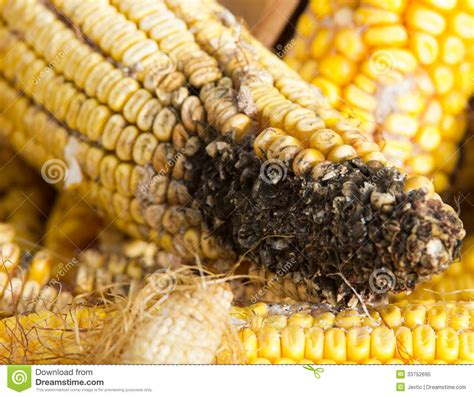 Mat Diseases by Corn Rot Royalty Free Stock Photo Image 33752695