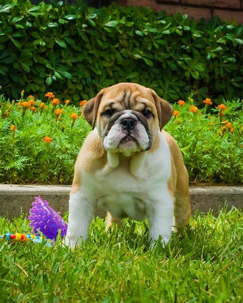 bulldog puppies az about us our dogs arizona s best bulldogs
