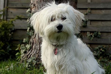 what is a havanese puppy file bichon havanese jpg wikimedia commons