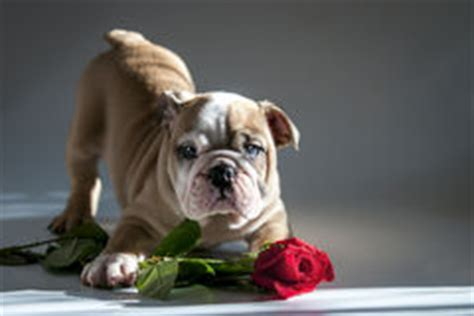 valentines day bulldog bulldog puppy with stock photo