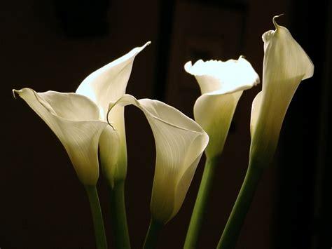 imagenes flores calas im 225 genes de flores y plantas cala