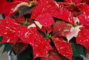 poinsettia colors gardening poinsettias are the plant of