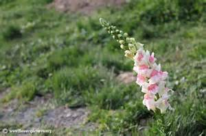 Picture Of A Snapdragon Flower - snapdragon flower picture 2