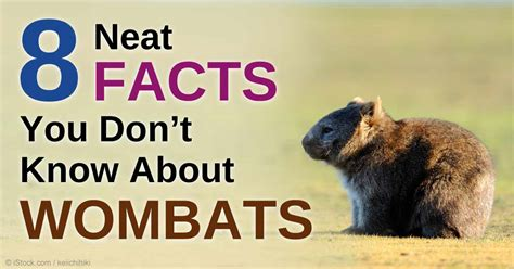 8 Facts About by 8 Facts About Wombats You Need To