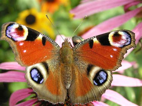 Die Sch Nsten Schmetterlinge 4950 die sch 246 nsten schmetterlinge der welt