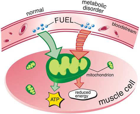 carbohydrates in atp production metabolic myopathies causes inheritance muscular