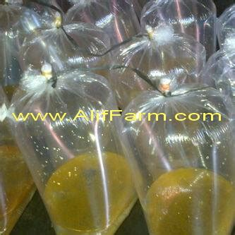 Jual Bibit Gurami Murah Surabaya jual telur ikan gurami dengan harga murah untuk budidaya