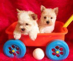 gold dust yorkies gold dust yorkies exquisite golddust terrier past pups cutie pie