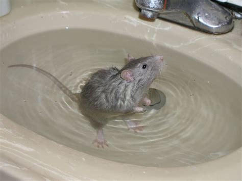 mice in bathroom mice in bathroom 28 images man hospitalized after rat attacks him on toilet