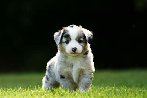 walking puppy 71 most australian shepherd puppies pictures and photos