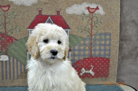 mini goldendoodles houston just labs kennels home of labs and labradoodles of
