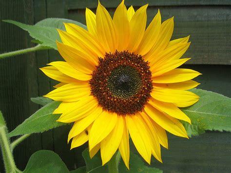 kansas sunflower kansas state flower native sunflower