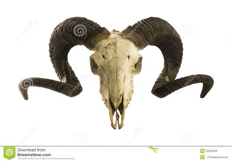 ram skull with big horns isolated on white stock image