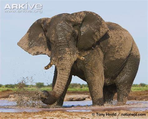 Elephant Gajah Display elephant photo loxodonta africana g112232 arkive