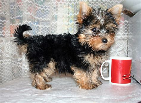 yorki one different types of yorkie puppy breeds picture