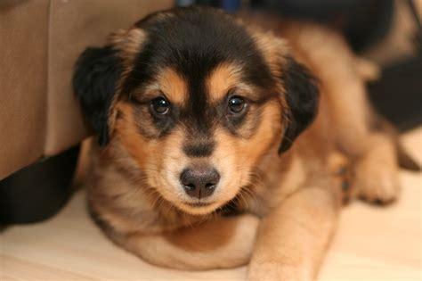 goberian puppy goberian puppy puppy