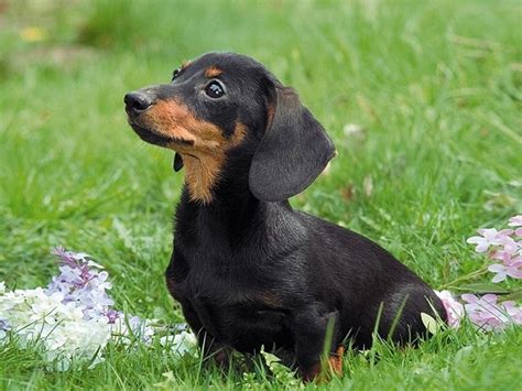 black and dachshund puppy black and dachshund puppy for the of canines