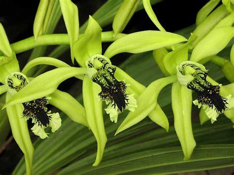 Anggrek Hijau coelogyne pandurata