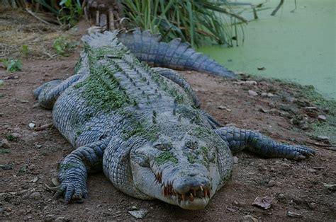 kostenloses foto tier krokodil wild raubtier kostenloses bild auf pixabay