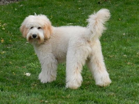 mini labradoodles size theodore australian labradoodle mini puppy patch
