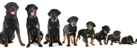 ab wann kann welpen zufã ttern wann ist ein hund ausgewachsen hundeblogger