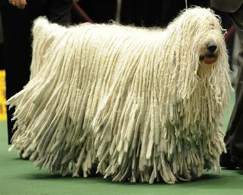 komondor puppy komondor information pets world