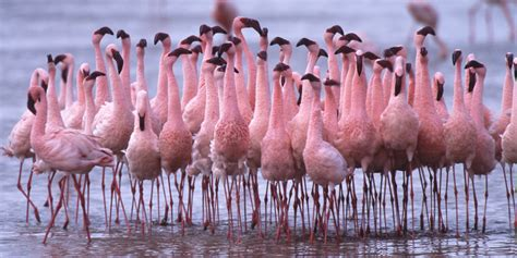 how do flamingos get their pink color flamingos a makeover for the birds huffpost