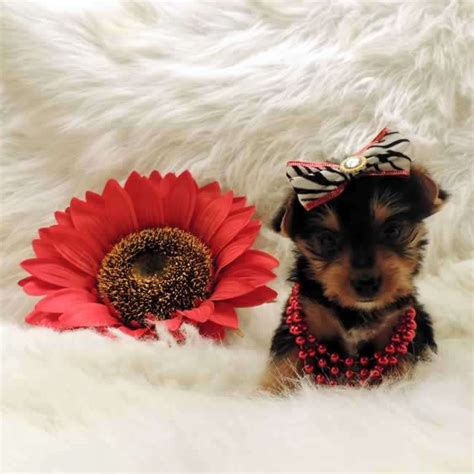 yorkie puppy tips terrier tips for terrier design bild