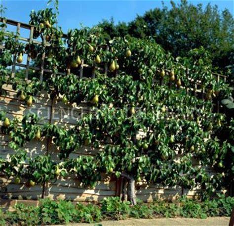 espalier trained pear tree gardening cordons espaliers and fans
