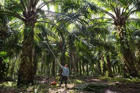 fruit bearing palm trees should we buy products with quot sustainable quot palm