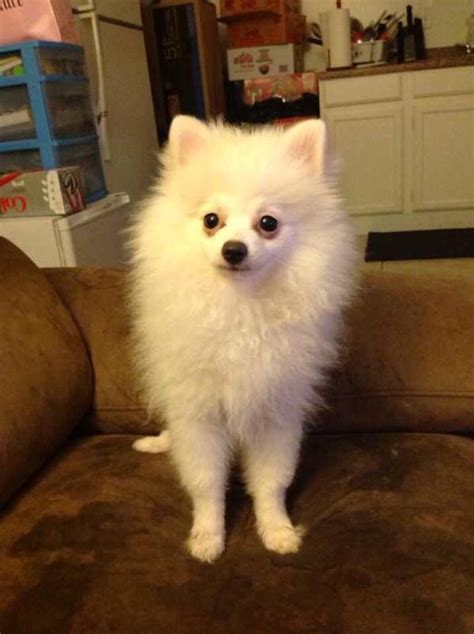pomeranian colors white 17 best ideas about pomeranian colors on baby pomeranian white pomeranian