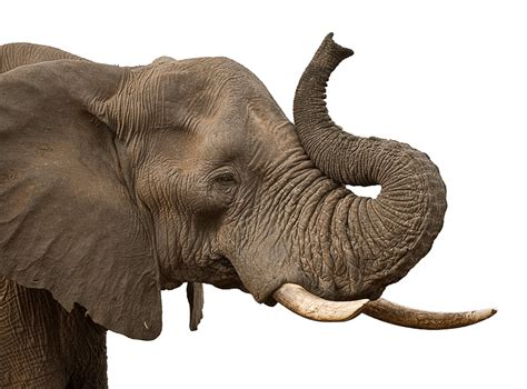 Tete Elephant Profil by Elephant Trunk Transparent Png Stickpng