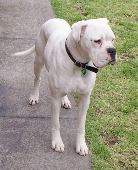 white boxer puppy 45 amazing white and brown boxer golfian