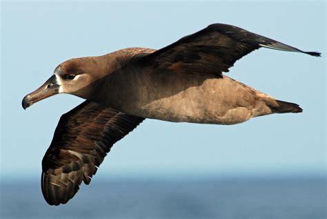 especies albatros jpg 313 215 448 albatross tattoo pinterest