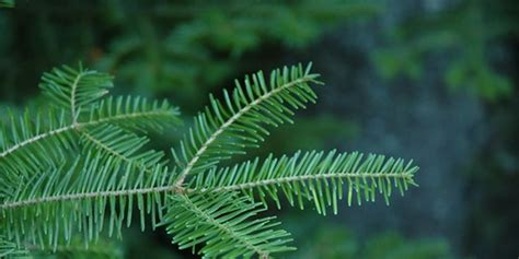 best fragrant christmas tree which tree is the most fragrant the best smelling tree