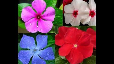 fiore pervinca fiore di pervinca periwinkle