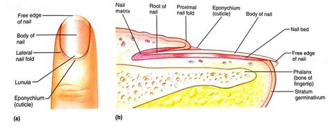 nail bed anatomy integumentary system at elmhurst college studyblue