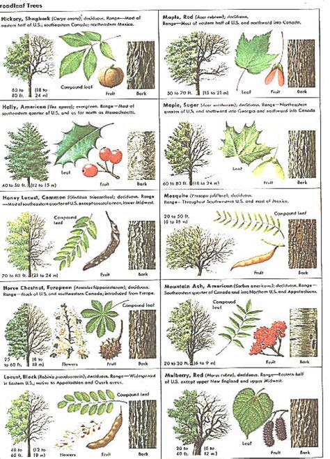 tree species guide how can leaves identify a tree phenology science with