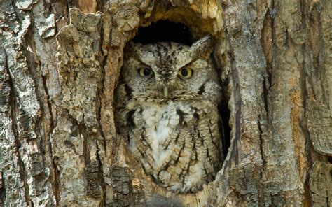 great horned owl hd wallpaper and background