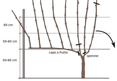 come coltivare l uva da tavola coltivare la vite a guyot guida completa