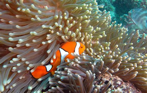anemone eat clownfish common clownfish oceana