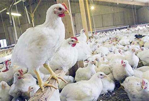Bibit Ayam Broiler Hari Ini 9 tips ternak ayam potong broiler ayam pedaging