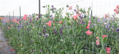 how to grow sweet peas floret flowers
