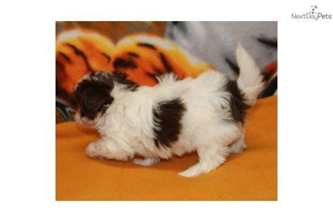 yorkies for sale in ri yorkie poo for sale adoption from westerly rhode island providence breeds picture
