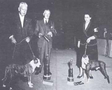 Sho X Pert world of x pert american staffordshire terrier