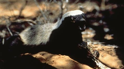 the meanest in the world about honey badger the meanest animal in the world show national geographic channel
