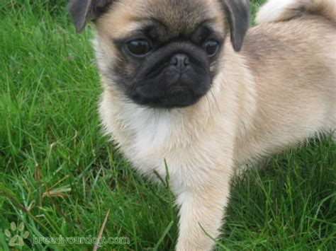 pug pekingese pekingese pug mix breed breeds picture