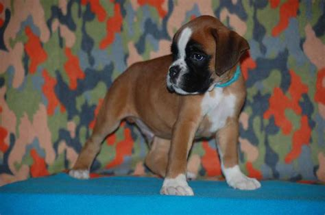 8 week boxer puppy boxer puppies 8 weeks available for new homes randburg ads dogs puppies