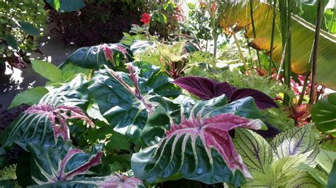 elephant ears colocasia plant care  collection